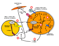 a diagram related to female reproductive physiology