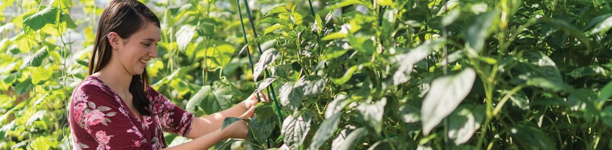 Student working in vineyard