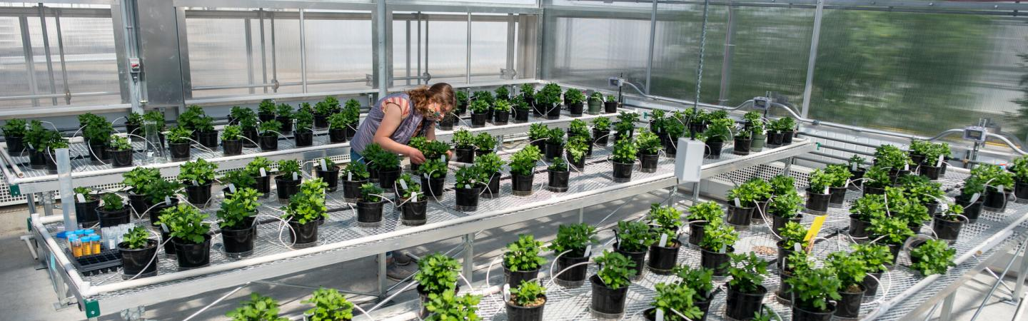 Student in Poleatewich lab conducts trials at the MacFarlane Greenhouse Facility