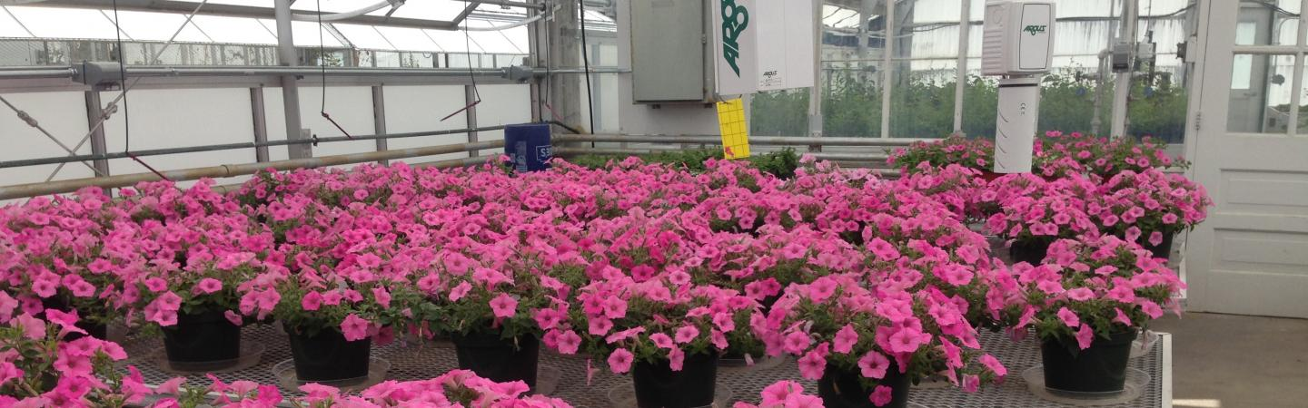 Pansy research at the MacFarlane Greenhouse Research facility within the NH Agricultural Experiment Station