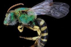 Agapostemon Bee