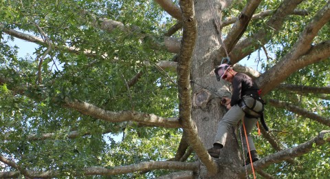 Student in climbing gear high in a tree