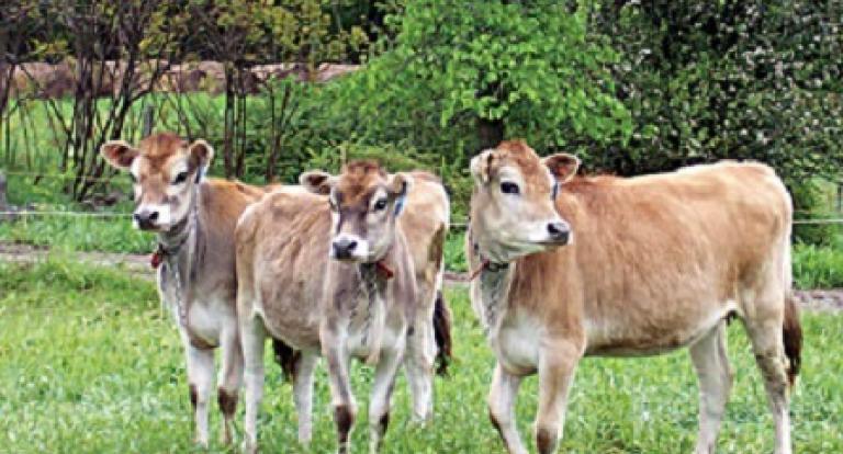 cows at unh organic dairy