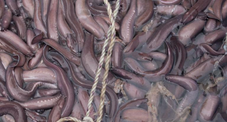 New grant to study hagfish slime
