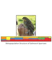 An image depicting the metapopulation structure of saltmarsh sparrows
